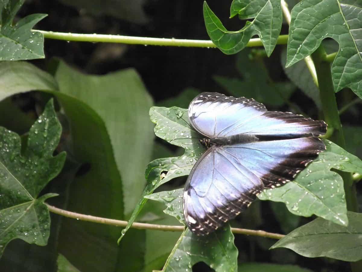 sommerfuglen, blad, flora, natur, insekt, treet, plante, utendørs