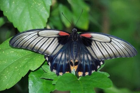 wildlife, black, butterfly, nature, biology, mimicry, insect, invertebrate