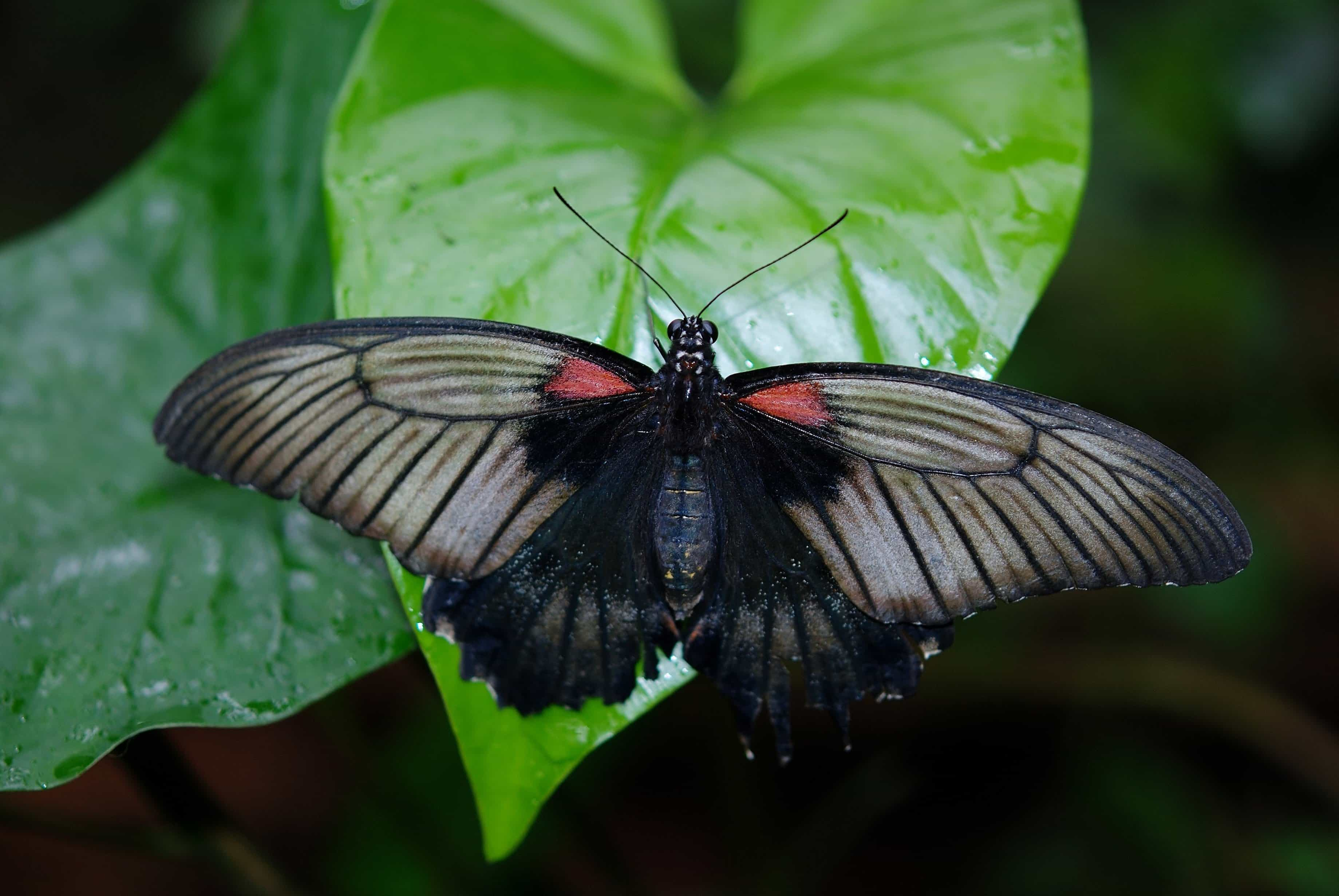 Free Picture Insect Biology Nature Wildlife Black Butterfly Invertebrate Macro