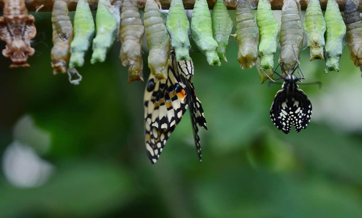 metamorphosis, invertebrate, butterfly, insect, macro, animal, nature, wildlife