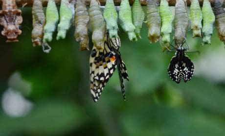 metamorphosis, invertebrate, butterfly, insect, macro, animal, nature, wildlife