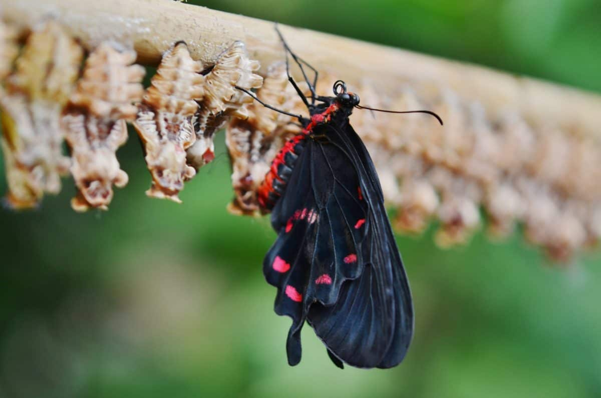 butterfly, metamorphosis, butterfly, animal, wildlife, nature, invertebrate, insect, moth