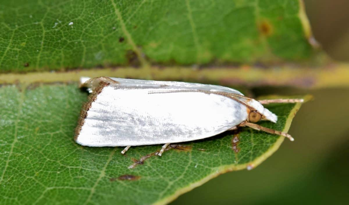 invertebrate, white, moth, butterfly, nature, insect, leaf, arthropod