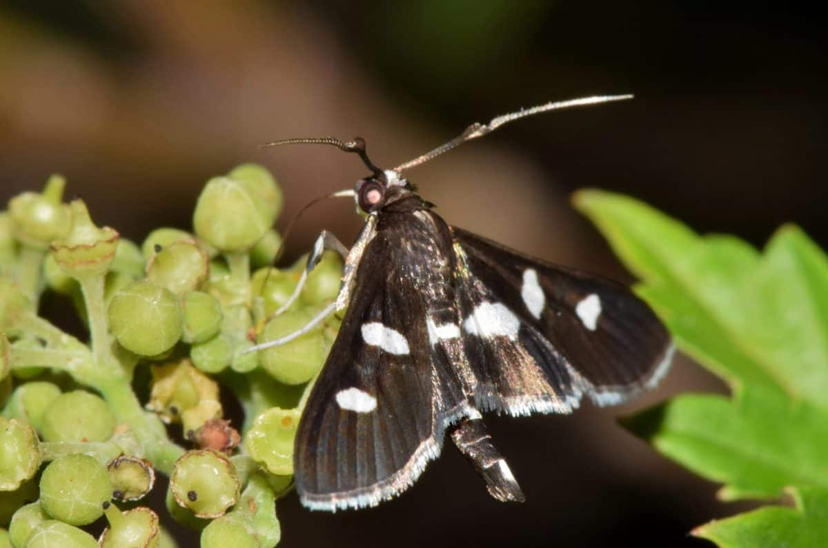 moth, wildlife, nature, black, macro, butterfly, invertebrate, insect, arthropod