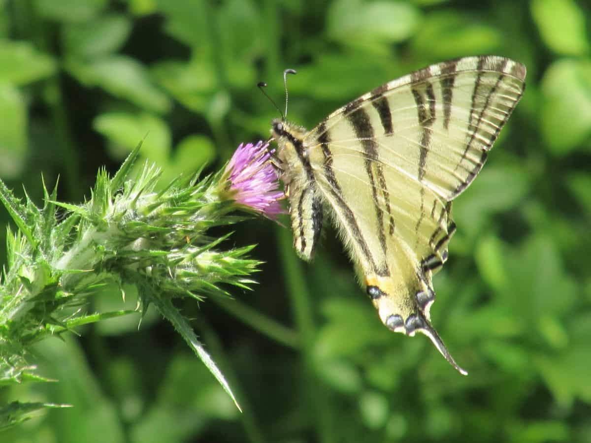 butterfly, insect, flora, garden, flower, camouflage, wild, nature, summer