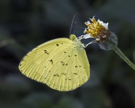 invertebrate, macro, detail, nature, moth, insect, butterfly, wildlife, flower