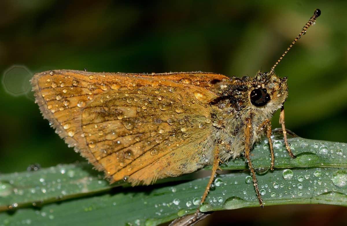 motýľ, wildlife, Rosa, dážď, hmyzu, bezstavovcov, príroda, můra, ARTHROPODA