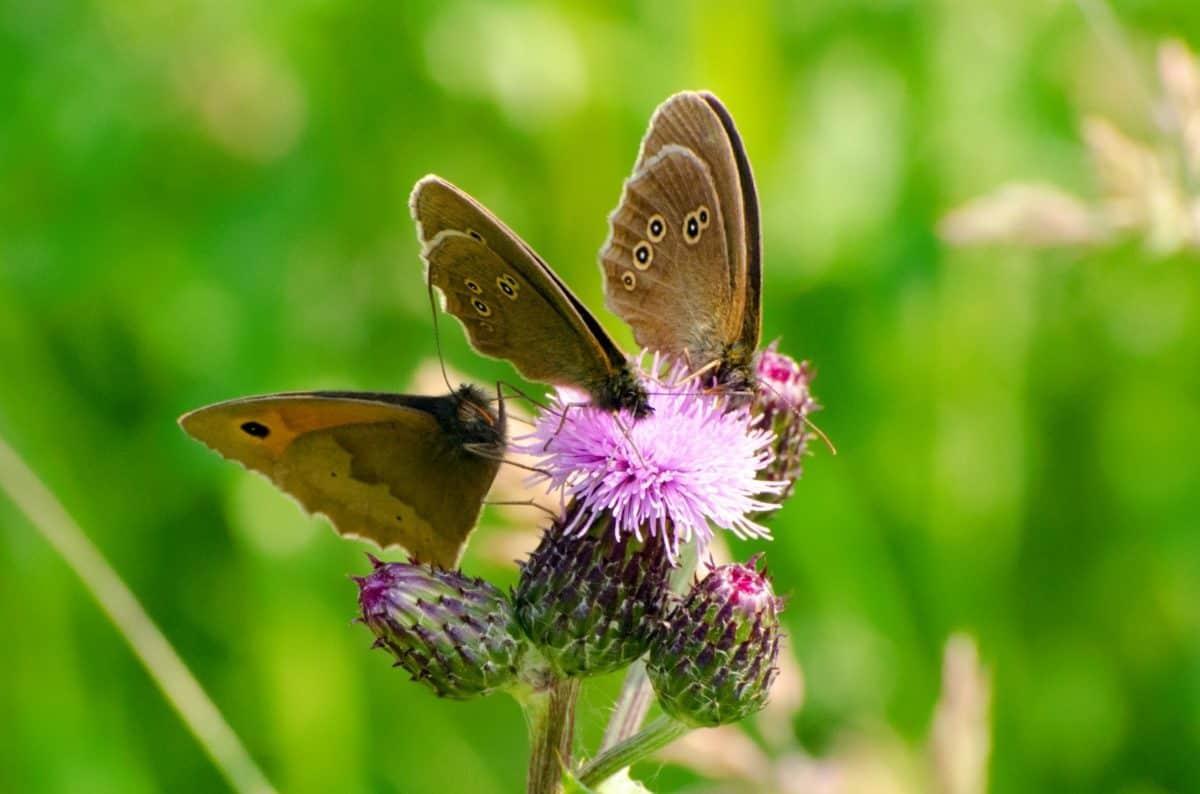 hmyz, príroda, motýľ, leto, kvety, prírody, záhradné