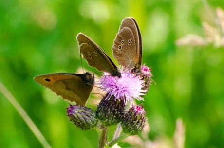 Natura, Motyl, lato, kwiat, owad, dzikość, ogród