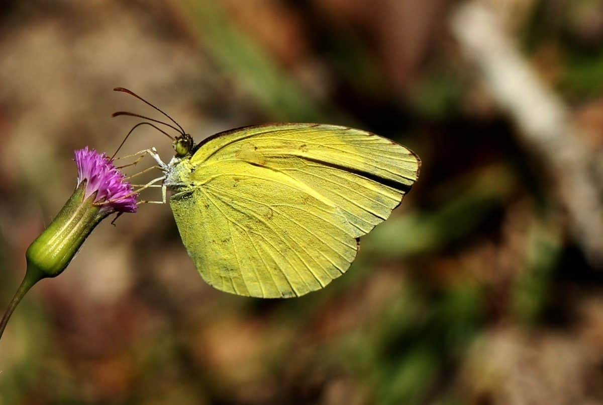 wildlife, flower, flora, butterfly, yellow, macro, summer, nature, insect