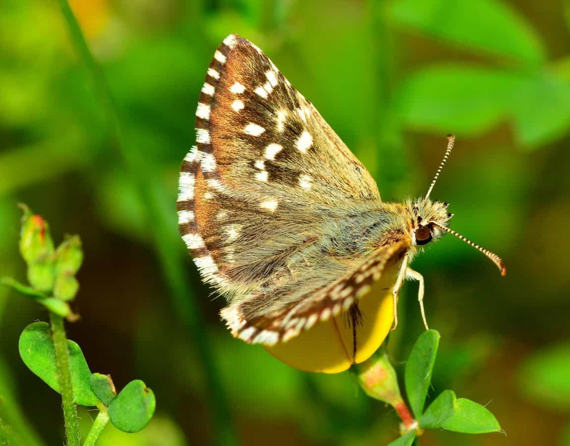 nature, wildlife, insect, summer, invertebrate, butterfly