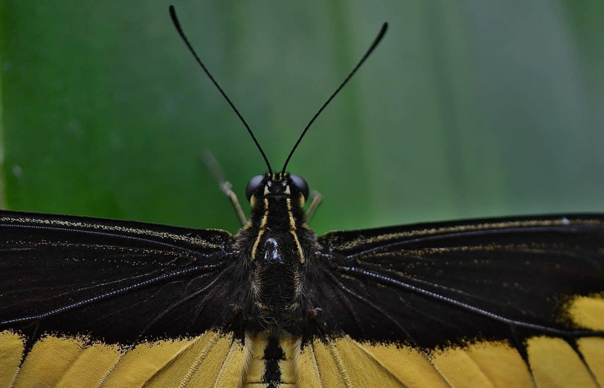 insecte, noir, papillon, invertébré, la faune, arthropodes, papillon de nuit
