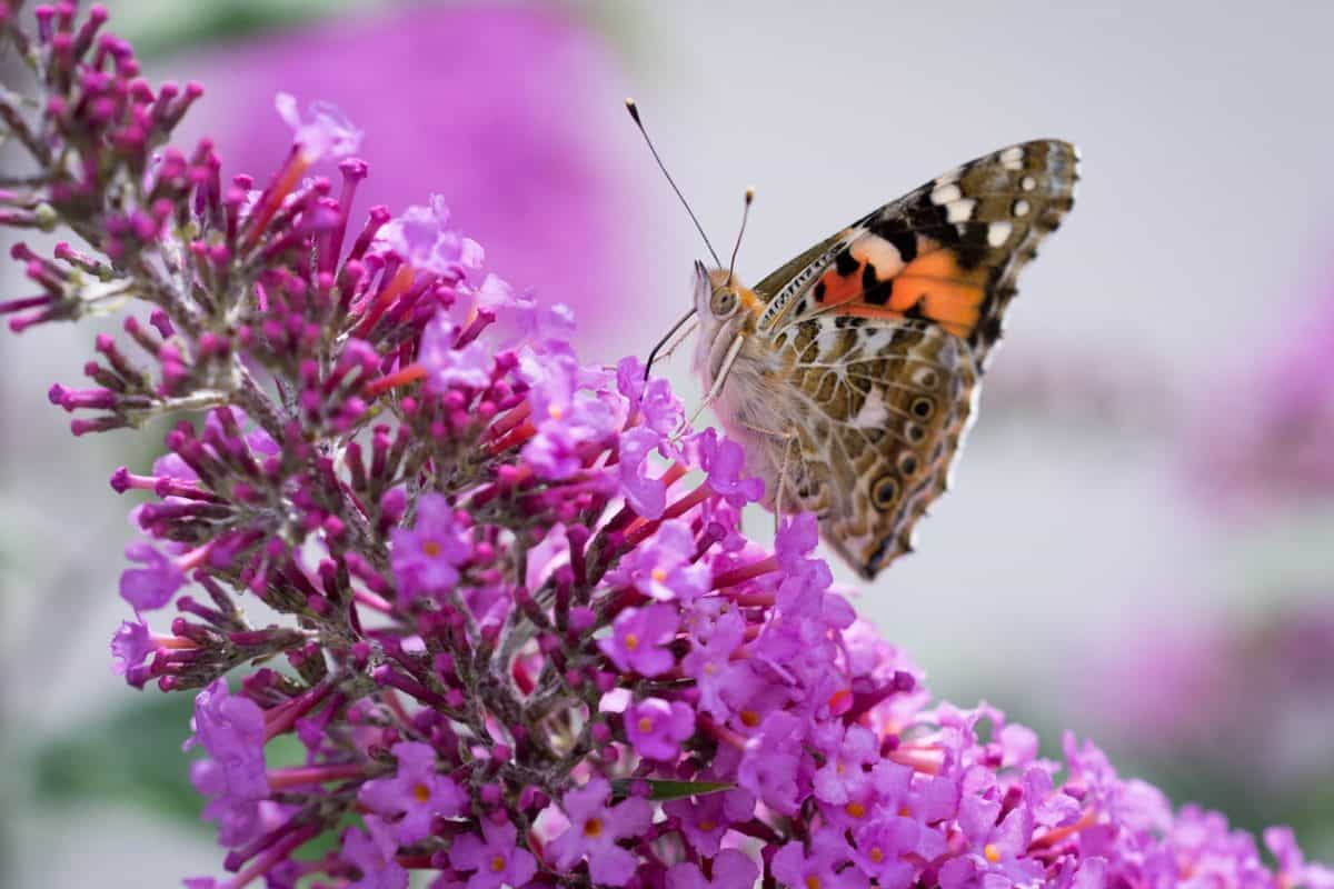flora, butterfly, garden, flower, nature, summer, insect