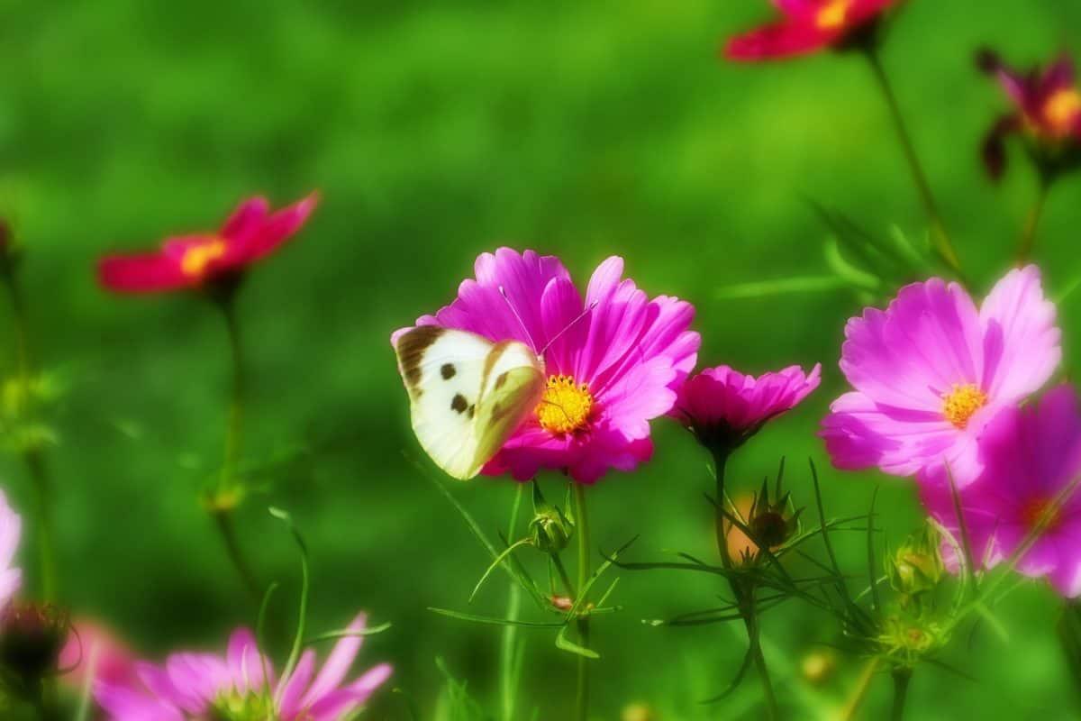 bloem, flora, zomer, Tuin, natuur, bloemblaadje, blad, roze