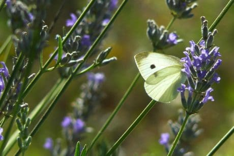butterfly, nature, summer, flower, lavender, insect