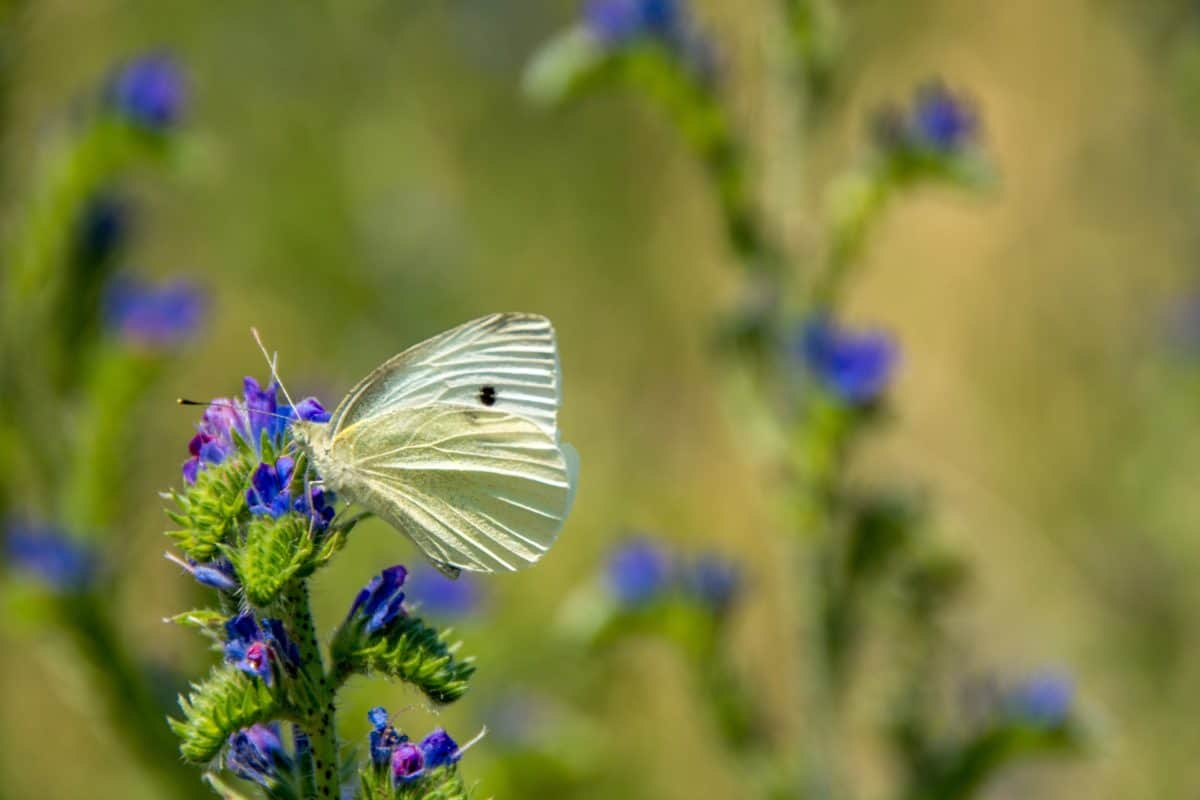 butterfly, summer, nature, wild, wildflower, flower, insect, flora