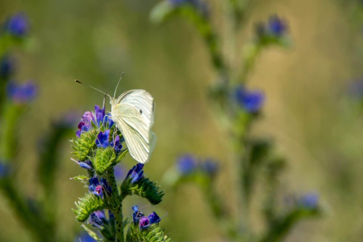 wildflower, insect, wildflower, butterfly, meadow, summer, nature, wild, flora