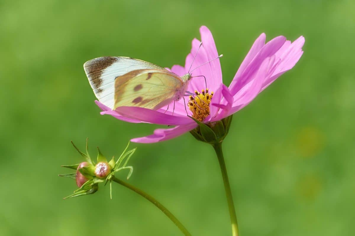 insect, wildflower, summer, nature, butterfly, blossom, plant