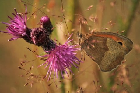 nature, invertebrate, flower, thistle, insect, butterfly
