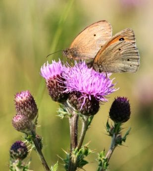 flower, thistle, insect, invertebrate, wildlife, nature, butterfly