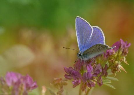 пеперуда, ливада, насекоми, Градина, природа, лято, цвете, синьо, растителна