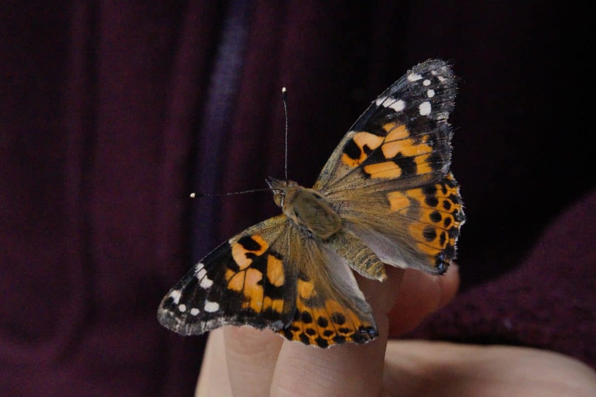 insect, butterfly, invertebrate, wildlife, nature, flower