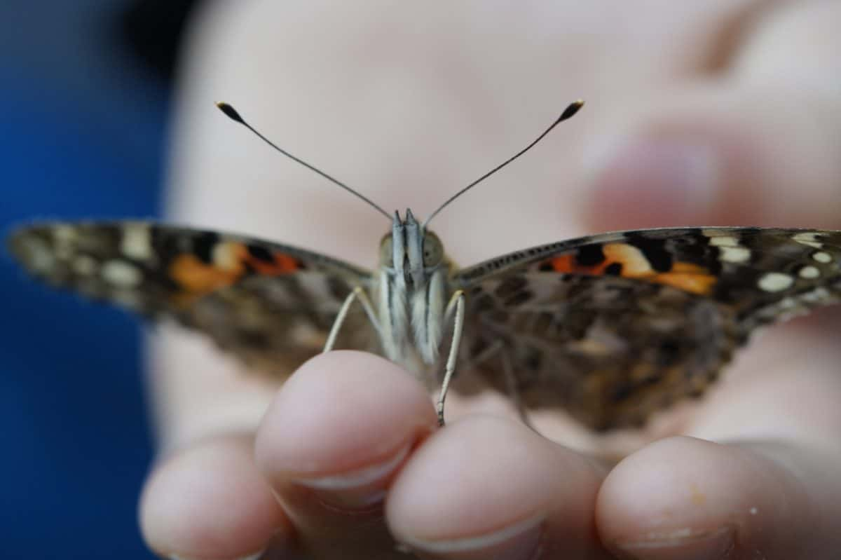 animal, nature, insect, hand, finger, butterfly, invertebrate, wildlife, summer