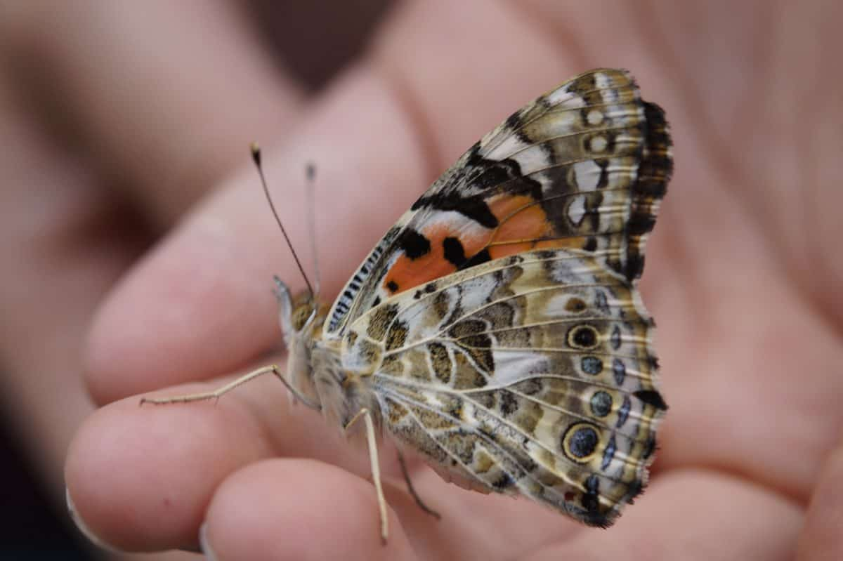 butterfly, nature, insect, moth, hand, finger, arthropod, flower, person