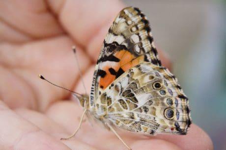 Метелик, Комаха, тварина, макрос, Рука, природи, молі, членистоногих, людина