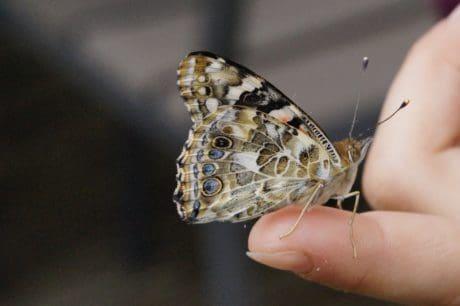 mariposa, insecto, naturaleza, animal, polilla, artrópodos