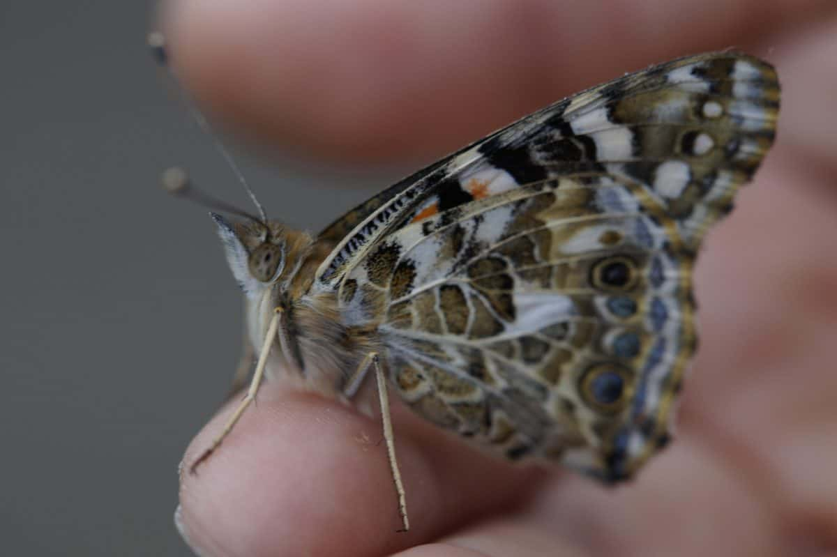wildlife, insect, nature, animal, butterfly, moth, invertebrate