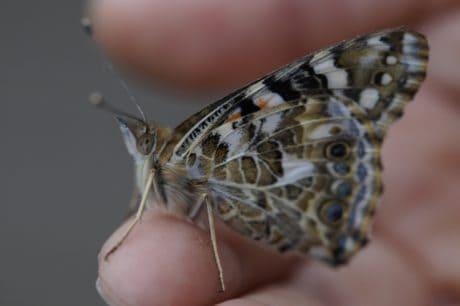 dyreliv, insekt, natur, dyr, sommerfugl, møl, hvirvelløse