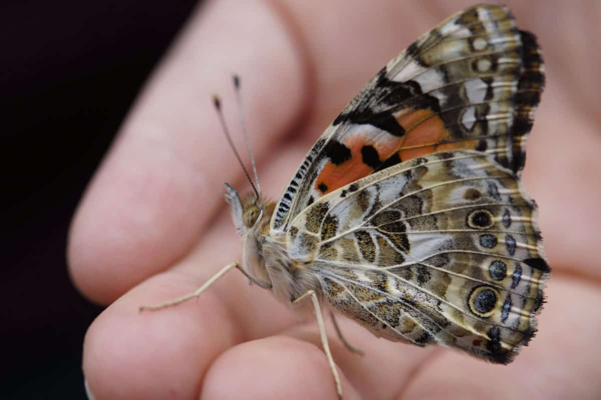 nature, butterfly, invertebrate, wildlife, insect, arthropod, hand, finger