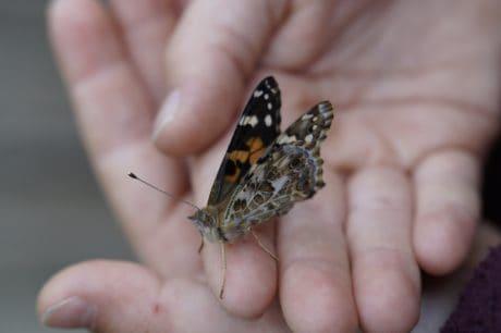farfalla, fauna selvatica, insetto, natura, fiore, pianta, giardino