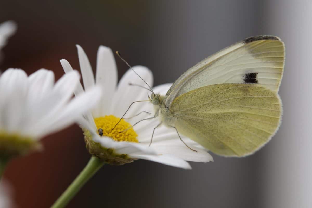květina, hmyz, příroda, sedmikráska, léto, motýl, květ, barevné