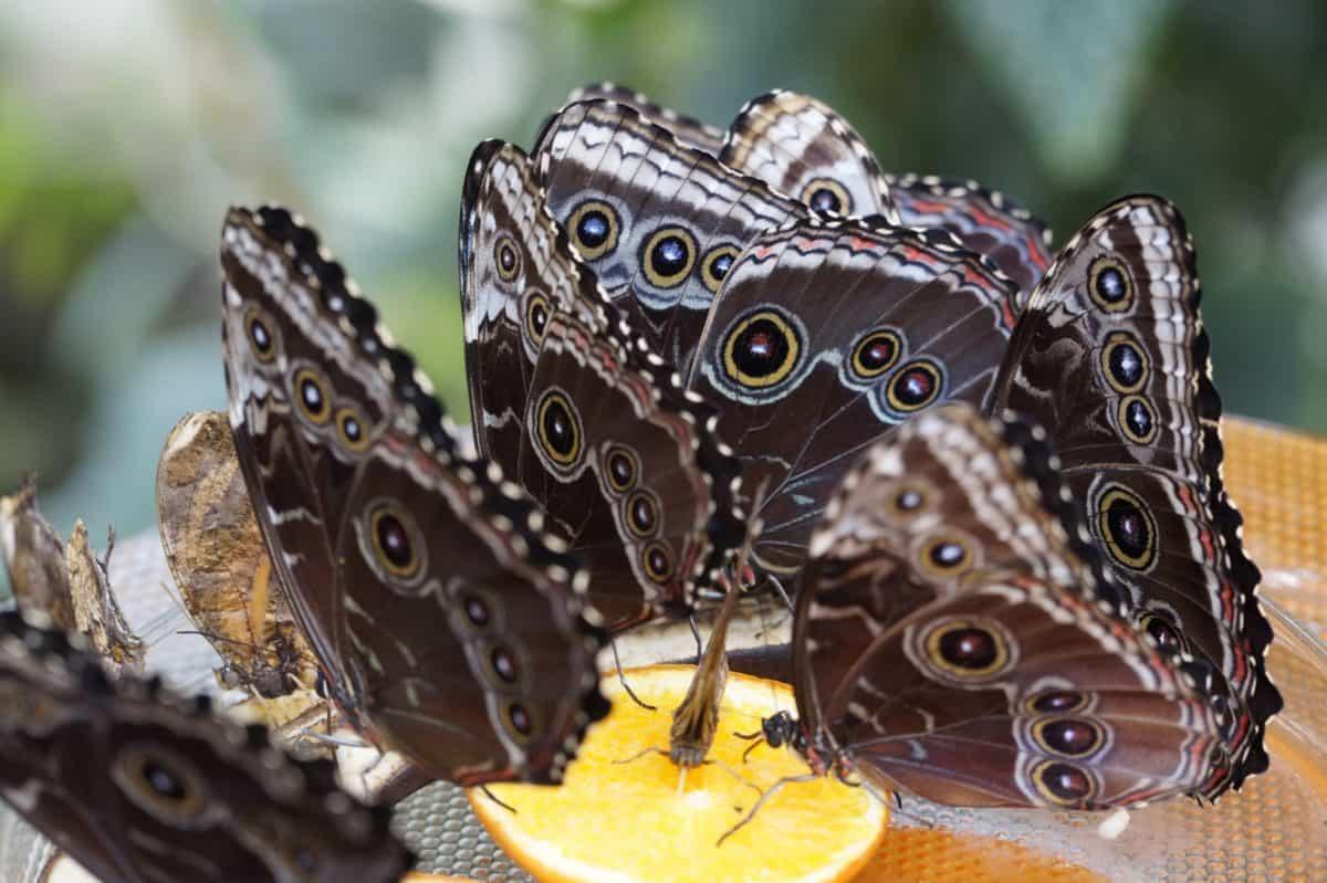 zvířata, příroda, motýl, hmyz, černá, křídla