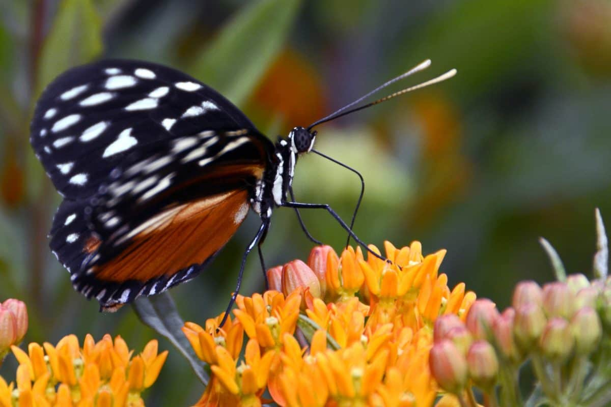 flower, garden, insect, nature, butterfly, herb, milkweed