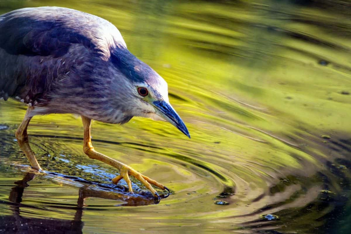 heron, swamp, beak, water, nature, wildlife, animal, bird, wild