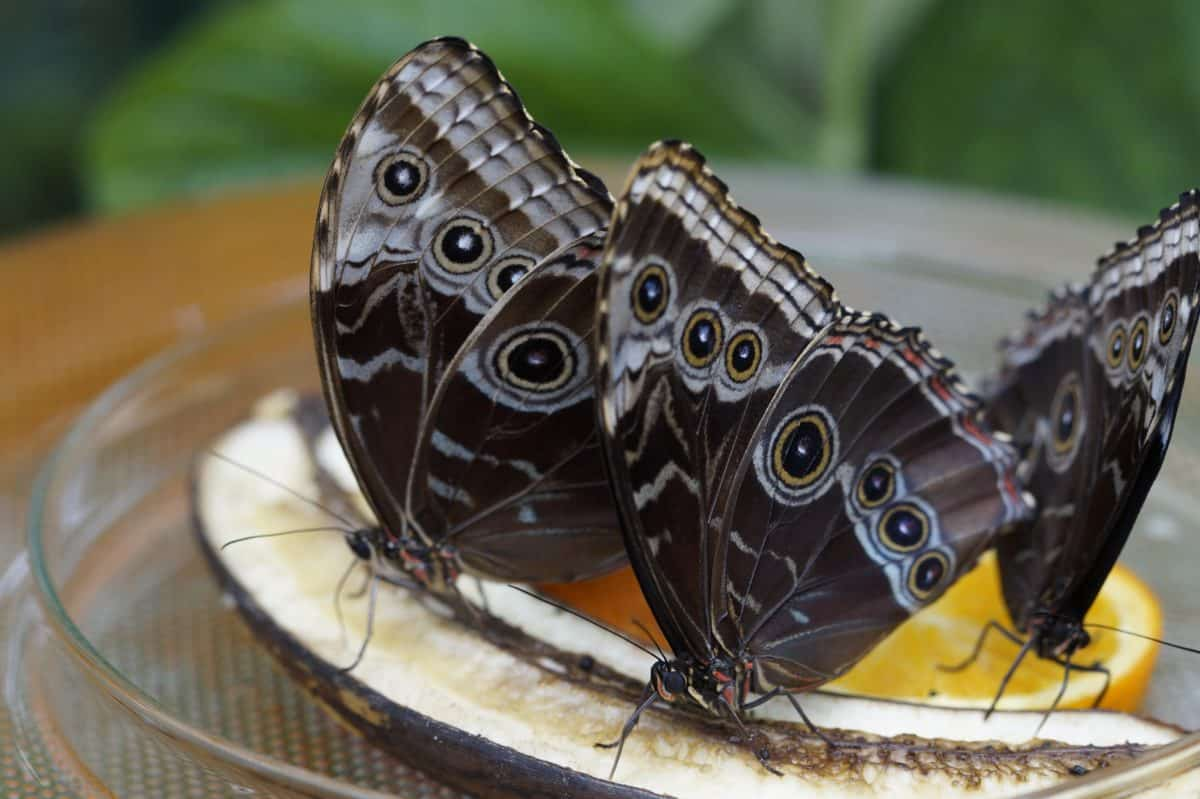 nature, butterfly, black, bowl