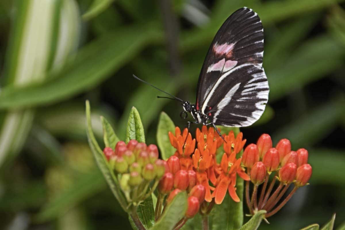 mariposa, flor, verano, insectos, naturaleza, jardín, hierba, algodoncillo