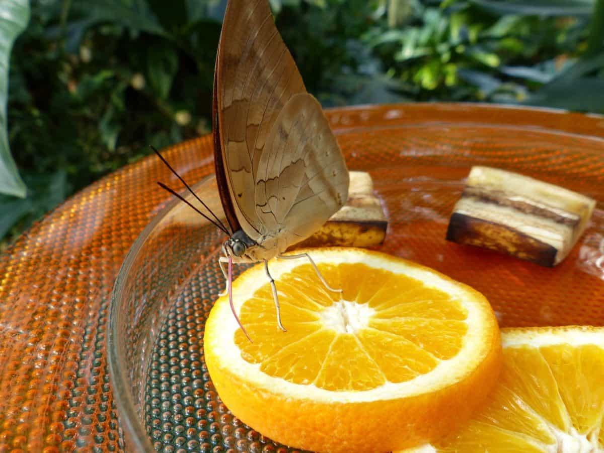 food, butterfly, summer, citrus, fruit, lemon, indicator, juice, vitamin