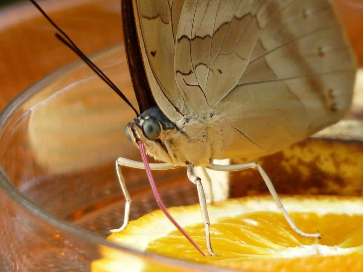 nature, insect, butterfly, citrus, arthropod, indoor