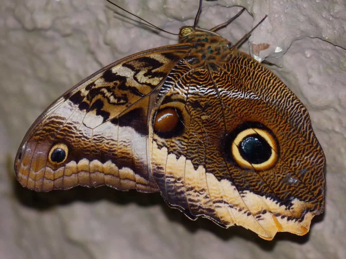 nature, wildlife, butterfly, animal, invertebrate, brown