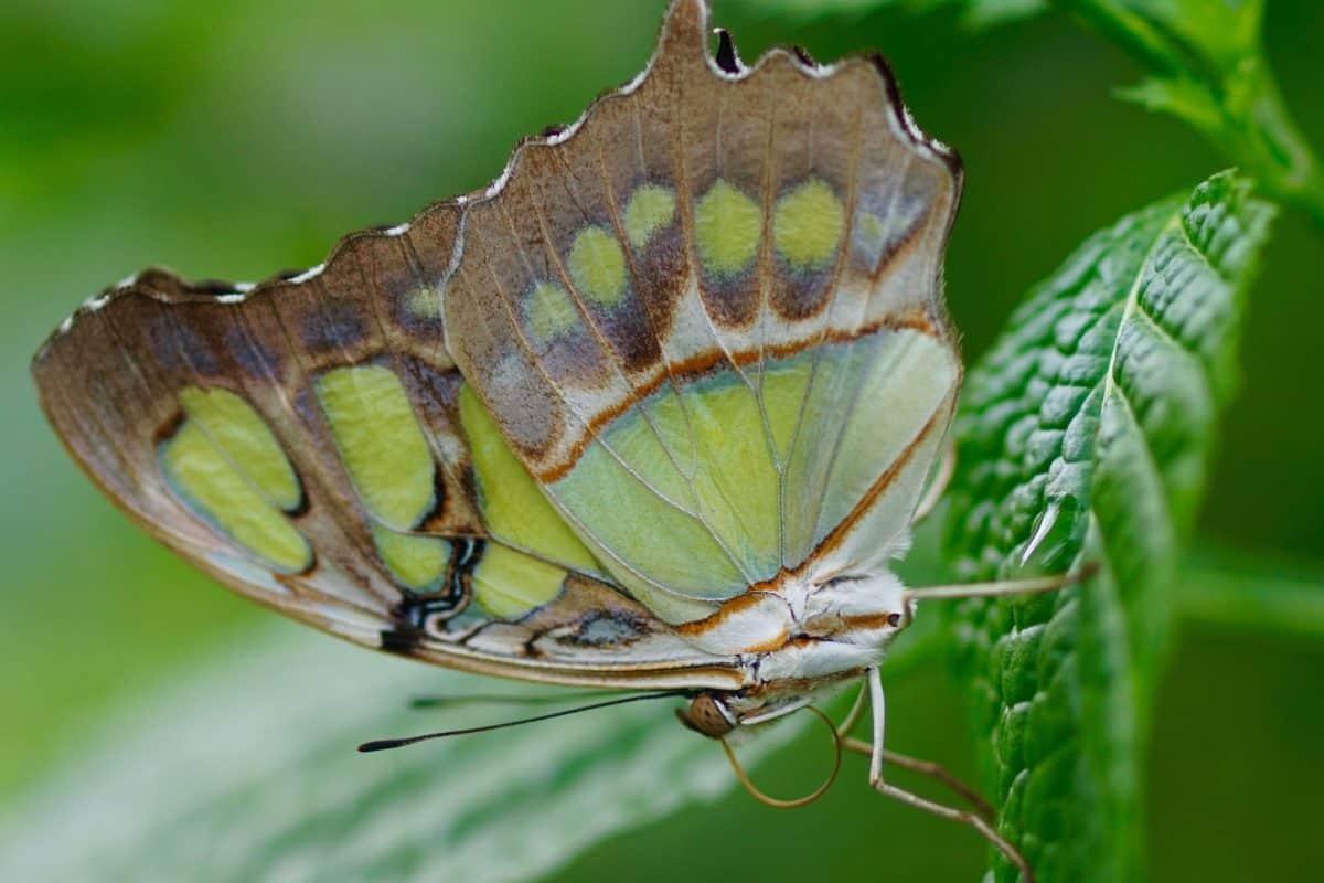 satwa liar, hewan, sayap, alam, serangga, kupu-kupu, daun, tanaman