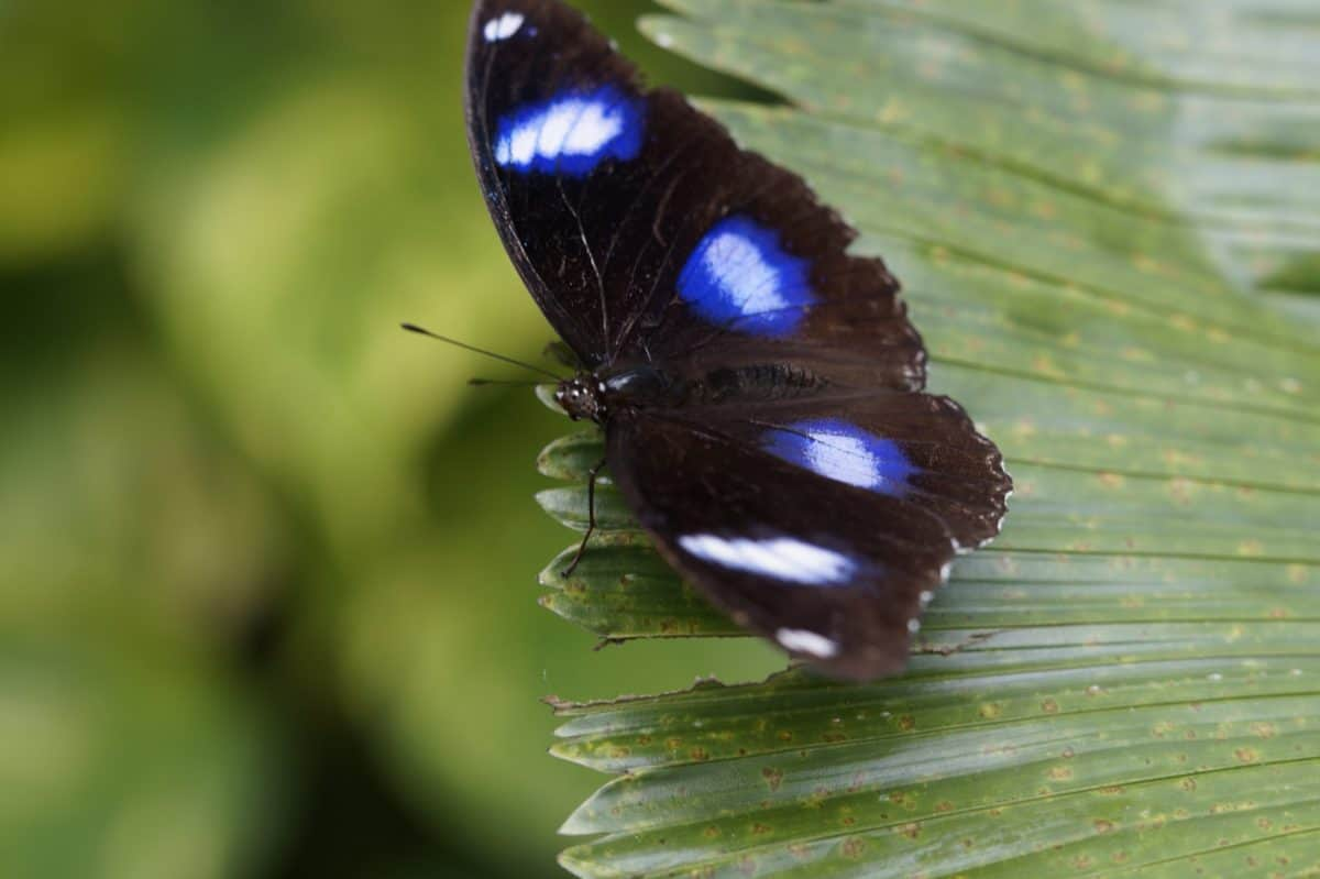wildlife, insect, butterfly, nature, blue, macro, green leaf, macro