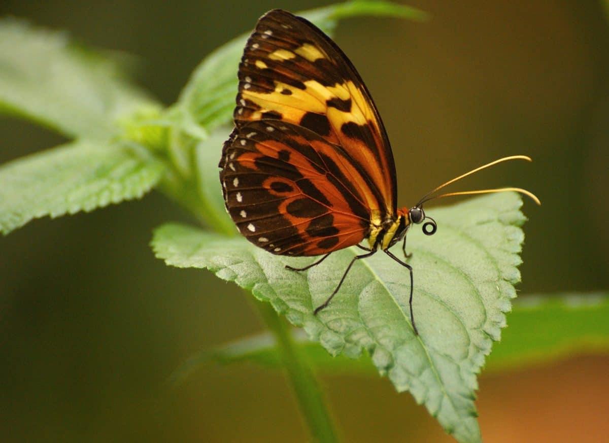 Insekt Schmetterling, Tierwelt, Natur, Pflanze, Kraut, Blüte