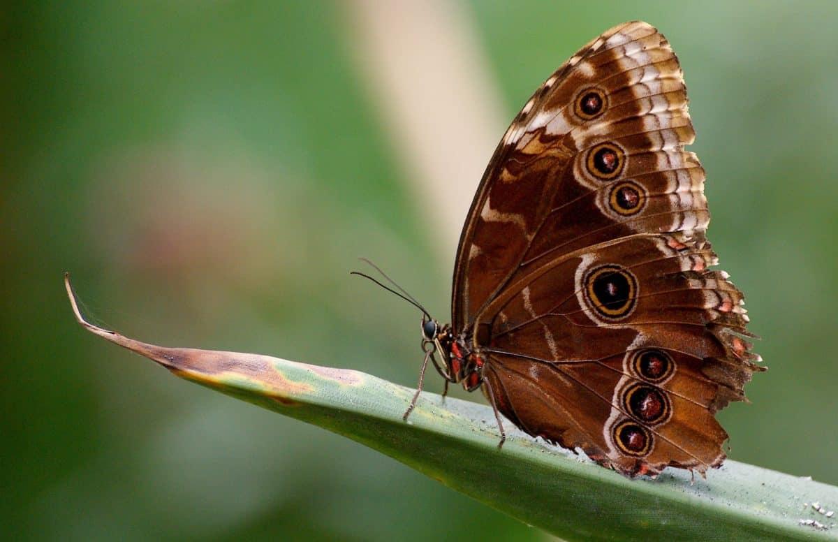 pillangó, vadon élő állatok, természet, állat, rovar, makró, részlet, barna, kerti