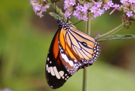 sifat, bunga, musim panas, makro, warna-warni, makro, kupu-kupu, serangga, garden, tanaman