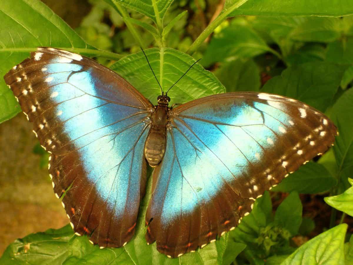 été, papillon, feuilles, insectes, macro, ailes, faune, nature, arthropode