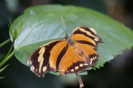 vilde dyr, natur, insekt, hvirvelløse, sommerfugl, plante